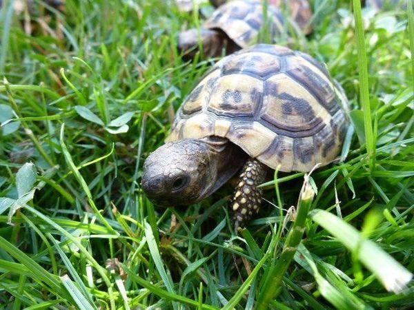 Griechische Landschildkröten-Eigene Nachzuchten 2018