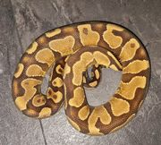 1 0 Enchi Yellowbelly oder