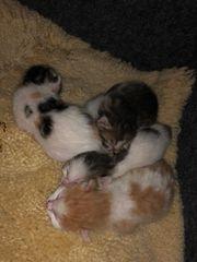 Mischlings Kitten