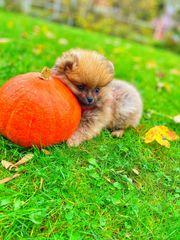 Mini Pomeranian Welpen Boo