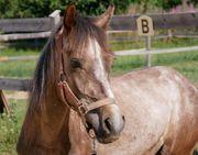 Wallach - Schimmel - Pony - 2jährig - Prämienfohlen