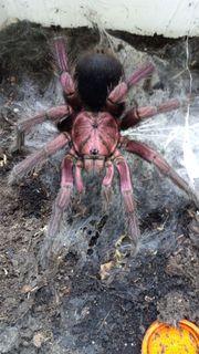 Vogelspinnen adulte Männchen Phormictopus sp