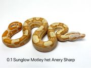 Boa Constrictor Imperator DH Snow