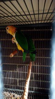 Rostkappenpapageien Papageien
