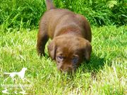 Reinrassige Labrador Retriever Welpen in