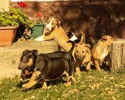 Agile Miniatur Bullterrier Welpen mit