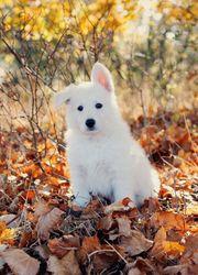 Große weiße Schweizer Schäferhund Welpen