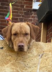Labrador Deckrüde mit Deckerfahrung
