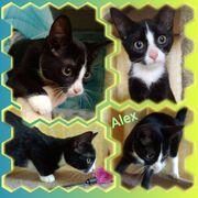Baby Kater Kitten Alex geimpft