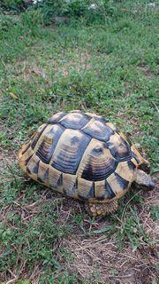 Adulte Griechische Landschildkröten THB Zuchtgruppe