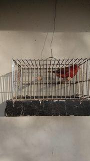Kanarienvögel Rot Schwarz