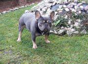 Deckrüde Französische Bulldogge Blau Blue
