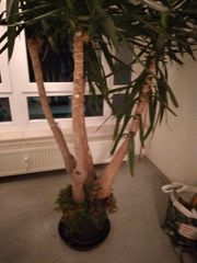 Schöne Yuccapalme