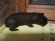 Skinny Pig Meerschweinchen 12 Wochen