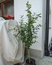 Hibiskus 140 cm hoch Garteneibisch