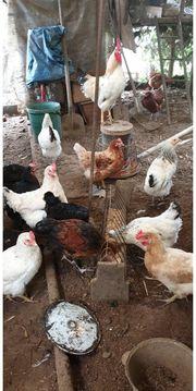 weiße Hühner Eier liegen 6