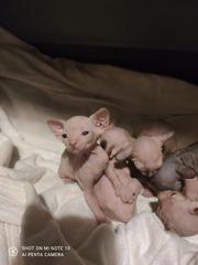 Sphynx-Kitten Kanadische