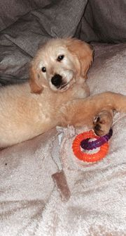 Golden Retriever Jungrüde m P