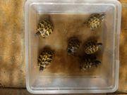 Griechische Landschildkröten thb aus Bulgarien