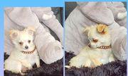Chihuahua langhaar Welpen Hündin und