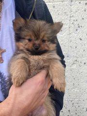 Pomeranian Mix Yorkshire Terrier