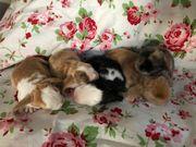 Zwergwidder Rexzwergwidder Kaninchen Hasen Schlappohren