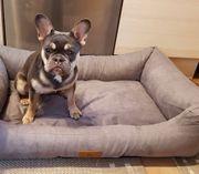 Verkaufe französische Bulldogge