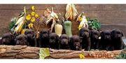 11 Neue Labrador Welpen in