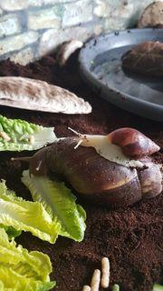 Achatschnecken Afrikanische Riesenschnecken
