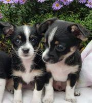 Chihuahua Tri-color