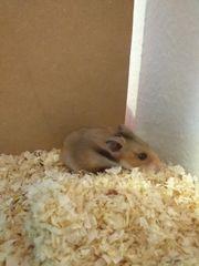 Hamster mit Terrarium und Zubehör