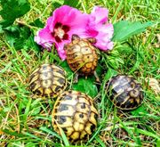 Landschildkröten Schildkröten Schlüpflinge Nachzuchten NZ