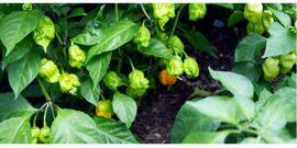Pflanzen - Samen Carolina Reaper Chili De