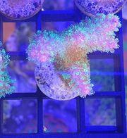 Pocillopora Tricolor Ableger Meerwasser