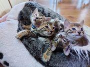 Reinrassige Bengalen Kitten