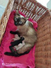 Siamesische Sphynx Kitten - Siam Canadian