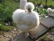 Hühner Henne Hennen Seidenhühner Zwerg-Seidenhühner