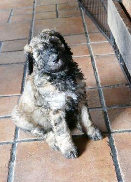 Doodle-Pudelwelpen aus unserem Verein mit: Kleinanzeigen aus Regensburg Winzer-Kager - Rubrik Hunde