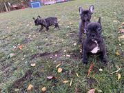 Französische Bulldogge drei Hündin