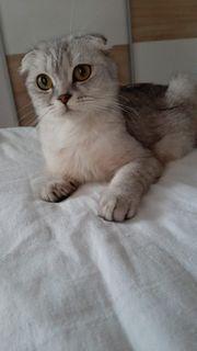 Scottisch Fold Katze