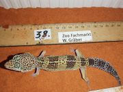 Leopardgecko Weibchen lat Eublepharis macularius