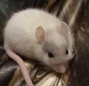 Entzückende Ratten Babies