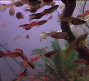 Guppy Endler Chili Mix Aquarium