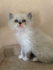 Perser Kätzchen Color Point Kater