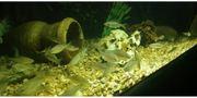 Teichfische Kaltwasser Teich Besatzfische