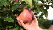 Apfelbäume zum Ernten gesucht