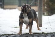 American Bully Blue tricolor