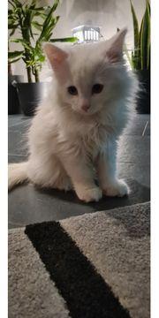 Maine Coon Kitten weiß