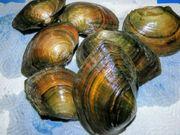 10 Teichmuscheln 6-10cm