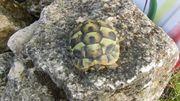 Griechische Landschildkröte THB Mit EU-